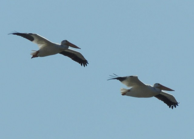 White Pelicans Over Green Bay - Green Bay, Wisconsin