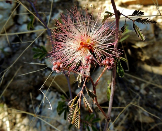 Fairy Duster Wildflower on Esperero Trail, Sabino Canyon Recreation Area - Tucson, AZ