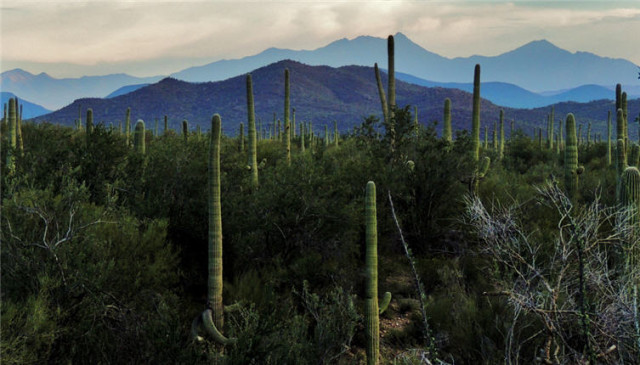 Cactus at Twilight, Tucson Mountains