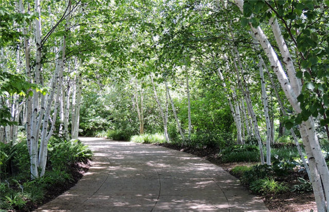 Birch Trees, Olbrich Gardens