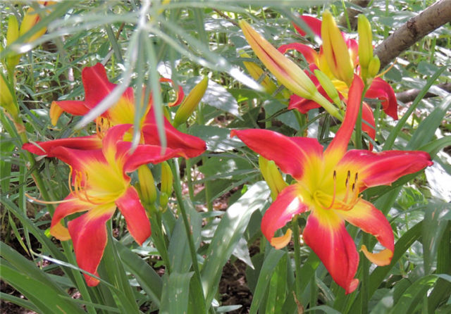 Garden Kaleidoscope At Olbrich >> My Wisconsin Space » Lilies