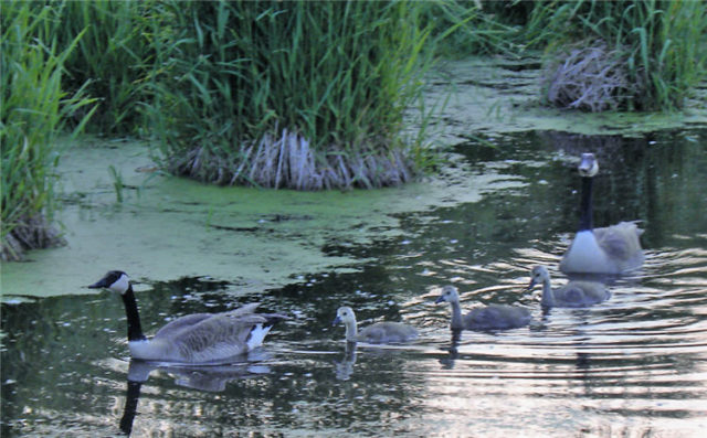 Geese Family, Dane County